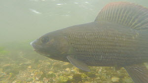Two male Grayling (Thymallus thymallus) escorting a female, River Kennet, Berkshire, England, UK. March.  -  John Waters