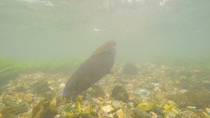 Female Grayling (Thymallus thymallus) swimming and feeding, moving a rock, joined by second female, River Kennet, Berkshire, England, UK. March.  -  John Waters