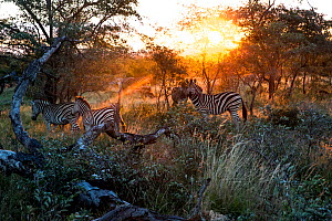 Herd of Plains zebra (Equus quagga) with sunlight streaming through trees. Kruger National Park, South Africa. Picture taken by Wild Shots Outreach student Proud Ndlovu.  -  Wild Shots Outreach