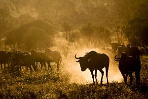 Blue wildebeest (Connochaetes taurinus) kicking up dust. Kruger National Park, South Africa. Photography by Wild Shots Outreach Student Ricky Tibane.  -  Wild Shots Outreach