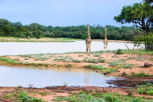 Giraffes (Giraffa camelopardalis) two standing by river. Southern African Wildlife College, Limpopo Province, South Africa Photograph taken by Wild Shots Outreach Student Paulinah Nanikie.  -  Wild Shots Outreach