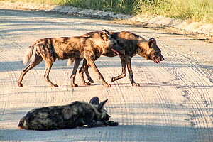 African wild dogs (Lycaon pictus) two walking in road and one resting. Southern African Wildlife College, Limpopo Province, South Africa. Photograph taken by Wild Shots Outreach studen Queen Manyike.  -  Wild Shots Outreach