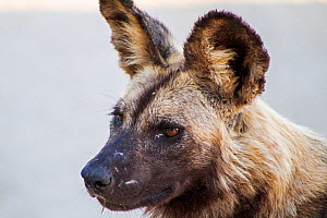 African wild dog (Lycaon pictus) portrait. Southern African Wildlife College, Limpopo Province, South Africa. Photograph by Wild Shots Outreach Student,  Terrence Mabaso  -  Wild Shots Outreach