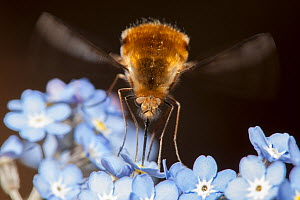 Large Bee-fly (Bombylius major) feeding on forget-me-not flowers, April, Bristol, UK - Michael Hutchinson