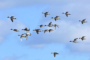 Pintails (Anas acuta) a flock in flight. Maltraeth Estuary, Anglesey, North Wales, UK. February.  -  Mike Potts