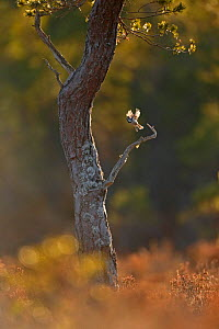 Crested tit (Lophophanes cristatus) taking flight from pine tree in the Cairngorms National Park, Scotland, UK, February.  -  SCOTLAND: The Big Picture