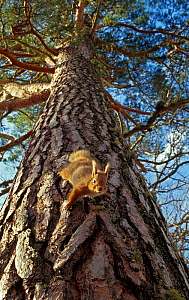 Red Squirrel (Sciurus vulgaris) climbing down pine tree, in the Cairngorms National Park ,Scotland - SCOTLAND: The Big Picture