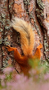 Red squirrel (Sciurus vulgaris) tail in summer seen against bark of large pine tree. Cairngorms National Park, Scotland. August.  -  SCOTLAND: The Big Picture