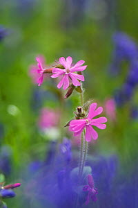 Red campion (Silene dioica) flowers, Surrey, UK, May.  -  Adrian Davies