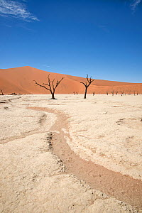 Ancient dead Camelthorn trees (Vachellia erioloba) and dry river bed, Sossusvlei, Namib Desert, Namibia  -  Adrian Davies