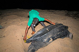 Man measuring Leatherback turtle (Dermochelys coriacea) during scientific research, Trinidad.  -  Adrian Davies
