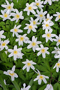 Wood anemone (Anemone nemorosa) Surrey, England, UK, March.  -  Adrian Davies