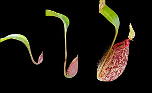Hybrid Nepenthes  x Hookeriana pitcher developing composite  -  Adrian Davies