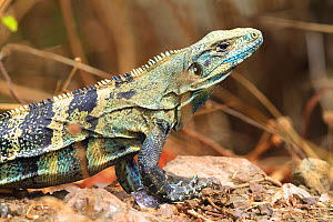 Black iguana (Ctenosaura similis) in breeding colours, Nicoya peninsula, Costa Rica,  -  Angelo Gandolfi