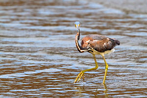 Tricoloured heron (Egretta tricolor) hunting small fish on tidal pool.  Pacific coast, Guanacaste, Costa Rica.  -  Angelo Gandolfi