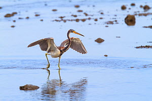 Tricoloured heron (Egretta tricolor) hunting small fish on tidal pool. Pacific coast of Guanacaste, Costa Rica.  -  Angelo Gandolfi