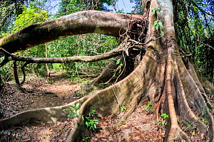 Fig tree (Ficus sp.) with buttress roots, Corcovado National Park, Osa peninsula, Costa Rica  -  Angelo Gandolfi