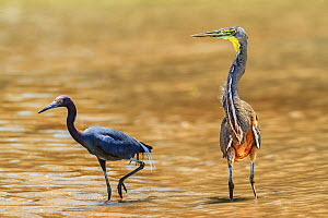 Bare-throated tiger heron (Tigrisoma mexicanum) and Little blue heron (Egretta caerulea) fishing in Rio Claro river,  Corcovado National Park. Osa, Costa Rica.  -  Angelo Gandolfi