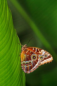 Blue morpho (Morpho peleides) on a leaf, with wings closed,  Corcovado National Park, Costa Rica.  -  Angelo Gandolfi