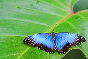 Blue morpho butterfly (Morpho peleides) on a leaf with wings open,  Corcovado National Park, Costa Rica.  -  Angelo Gandolfi