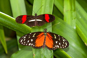 Red postman butterfly (Heliconius erato) (above) and Tiger longwing (Heliconius hecale) La Paz Waterfall Gardens, Costa Rica. - Angelo Gandolfi