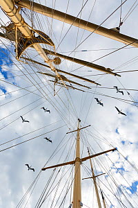 Sailing ship Starflyer (Star Clippers fleet) with Brown pelicans (Pelecanus occidentalis) above,  in Costa Rica Pacific waters, March. Birds are Brown pelicans  -  Angelo Gandolfi