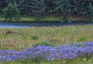 Meadow with blue flax (Linum bienne) flowering, Sila National Park,  Macchialonga valley, Calabria, Italy, June.  -  Angelo Gandolfi