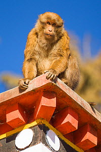 Arunachal macaque (Macaca munzala)  on roof of building, Tawang, Arunchal Pradesh, Himalayas, India. - Sandesh  Kadur