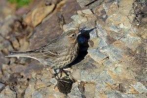 Rock pipit (Anthus petrosus) foraging for invertebrates on a rocky cliff face, Cornwall, UK, April  -  Nick Upton