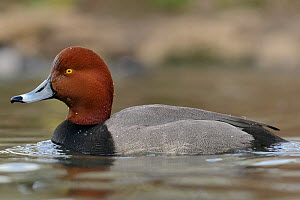 Redhead (Aythya americana) swimming, captive, UK, April.  -  Nick Upton
