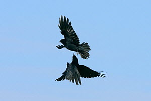 Two Carrion crows (Corvus monedula) fighting in mid air, Cornwall, UK, April. - Nick Upton
