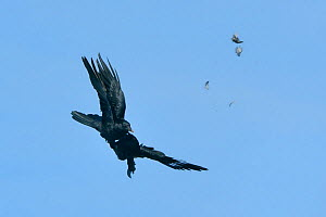 Two Carrion crows (Corvus monedula) fighting in mid air with feathers flying, Cornwall, UK, April. - Nick Upton