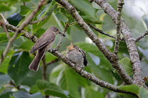 Spotted flycatcher (Muscicapa striata) feeding a solitary bee to its chick which has just left the nestbox, Cornwall, UK, August.  -  Nick Upton