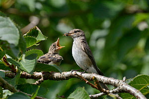 Spotted flycatcher (Muscicapa striata) feeding a chick which has just left its nestbox with a solitary bee, Cornwall, UK, August.  -  Nick Upton