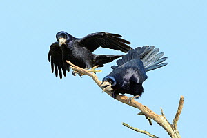 Rook (Corvus frugilegus) pair calling and displaying on a dead branch near their tree top nest site, Cornwall, UK, April.  -  Nick Upton