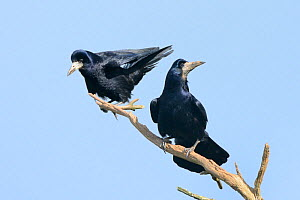 Rook (Corvus frugilegus) pair perched on a dead branch near their tree top nest site, Cornwall, UK, April.  -  Nick Upton
