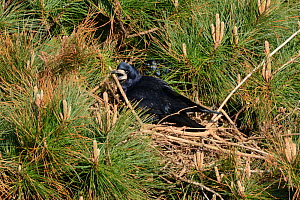 Rook (Corvus frugilegus) adding a stick to its tree top nest in a Scots pine (Pinus sylvestris), Cornwall, UK, April.  -  Nick Upton