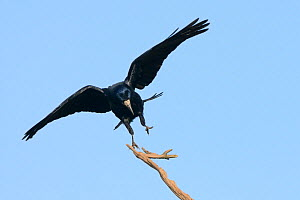 Rook (Corvus frugilegus) landing on a dead tree branch, Cornwall, UK, April.  -  Nick Upton
