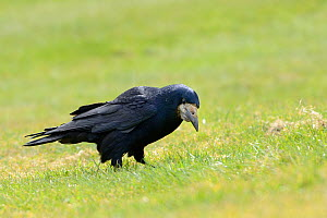 Rook (Corvus frugilegus) foraging on coastal grassland,  Cornwall, UK, April.  -  Nick Upton