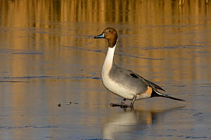 Northern pintail drake (Anas acuta) standing on ice in frozen marshland, Gloucestershire, UK, January.  -  Nick Upton