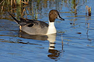 Northern pintail drake (Anas acuta) swimming in flooded marshland, Gloucestershire, UK, January.  -  Nick Upton