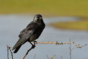 Jackdaw (Corvus monedula) perched on a bush bordering flooded marshland, Gloucestershire, UK, January. - Nick Upton