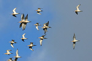 Black-tailed godwit flock (Limosa limosa) in flight against a blue sky, Gloucestershire, UK, January. - Nick Upton