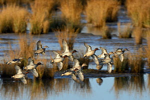 Common teal (Anas crecca) flock taking off from tidal mudflats, Steart Marshes, Somerset, UK, January. - Nick Upton