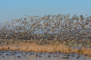 Dense flock of Common teal (Anas crecca) and Wigeon (Anas penelope) flying over Nothern shoveler (Anas clypeata) and other widfowl resting on flooded marshland, RSPB Greylake, Somerset, UK, January. - Nick Upton