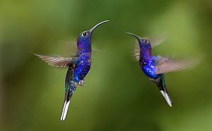 RF - Male Violet Sabrewing hummingbirds (Campylopterus hemileucurus) hovering in flight sequence. Montane forest, Bosque de Paz, Caribbean slope, Costa Rica (This image may be licensed either as right...  -  Nick Garbutt