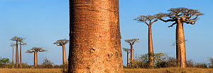 RF - Grandidier's Baobab trees (Adansonia grandidieri) in afternoon sunlight. 'Alle de Baobab' north of Morondava, western Madagascar. (This image may be licensed either as rights managed or royalty f...  -  Nick Garbutt