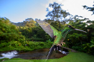 RF - Male Green-crowned Brilliant hummingbird (Heliodoxa jacula) hovering  in flight. Montane forest, Bosque de Paz, Caribbean slope, Costa Rica, Central America. (This image may be licensed either as...  -  Nick Garbutt