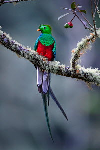 RF - Male Resplendent Quetzal (Pharomachrus mocinno) in cloud forest. Los Quetzales National Park, Savegre River Valley, Talamanca Range, Costa Rica, Central America. (This image may be licensed eithe...  -  Nick Garbutt