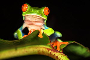 RF - Female Red-eyed Tree Frog (Agalychnis callidryas) - Caribbean slope race (blue flanks). Mid-altitude rainforest near Aranal, central Costa Rica. (This image may be licensed either as rights manag...  -  Nick Garbutt